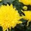 แอสเตอร์ สีเหลือง / 20 เมล็ด thumbnail 1