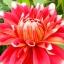 ดอกรักเร่แดงขอบขาว Red White spot Dahlia / 10 เมล็ด thumbnail 2