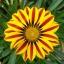 กาซาเนีย ลายสีเหลือง Gazania rigens / 20 เมล็ด thumbnail 1