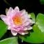 บัวฝรั่งสีชมพู / 50 เมล็ด thumbnail 2