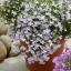 """โลบีเลียฟาวเทน """"ไลแลค""""(LobeliaFountain """"Lilac"""") /100เมล็ด thumbnail 2"""