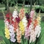 Gladiolus แกลดิโอลัส (คละสี) / 1 หัว thumbnail 2