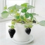สตรอเบอรี่ดำ Black strawberry /30 เมล็ด thumbnail 2