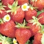 สตรอเบอรี่ Super Big Strawberry /30 เมล็ด thumbnail 2