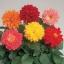 ดอกรักเร่ ฟิกาโร่ มิกซ์ / 20 เมล็ด thumbnail 2