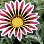 ดอกกาซาเนีย เมทริกซ์ ฟรอสตี้ ไวท์ เฟลม / 20 เมล็ด