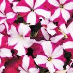 ดอกพิทูเนีย มิราจ เบอร์กันดี้สตาร์ Petunia Mirage Burgundy Star / 50 เมล็ด