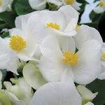 Begonia Super Olympia White บีโกเนีย ซุปเปอร์โอลิมเปีย ไวท์ / 20 เมล็ด