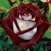 กุหลาบ Fire And Ice Rose / 5 เมล็ด