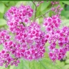 ดอก Hyssopus officinalis Mix Colour / 50 เมล็ด