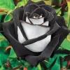 กุหลาบขาวดำ White Black Edge Rose / 5 เมล็ด