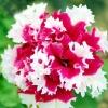 พิทูเนียสีแดงขอบขาว Charming Petunia / 20 เมล็ด