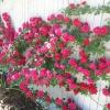 กุหลาบเลื้อยสีแดง Climbing red rose / 10 เมล็ด