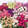ดอกแอสเตอร์ มิกซ์ / 100 เมล็ด