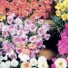 ดอกแพรเซี่ยงไฮ้ (คุณนายตื่นสาย) มิกซ์ / 30 เมล็ด