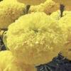 ดาวเรือง สีเหลืองดอกใหญ่ / 20 เมล็ด
