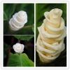 ดอกไอศกรีม Ice Cream Flowers seeds / 5 เมล็ด
