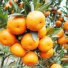 เมล็ดส้ม Orange seeds / 5 เมล็ด