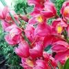ดอก Cymbidium Orchid / 50 เมล็ด