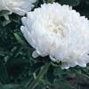 แอสเตอร์ สีขาวดอกใหญ่ / 20 เมล็ด