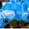 ดอก Orchid butterfly iris seeds / 20 เมล็ด