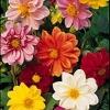 ดอกรักเร่ เออร์ลี่ เบิร์ด มิกซ์ Dahlia Early Bird Mix /30 เมล็ด