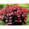 Begonia Angel Scarlet บีโกเนีย แองเจิ้ล สคาร์เล็ต / 50 เมล็ด