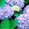ไฮเดรนเยีย สีฟ้า Hydrangea Blue / 10 เมล็ด