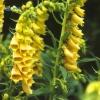 ดอก Foxglove (เหลือง) / 50 เมล็ด