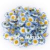 ดอก Chrysanthemum / 30 เมล็ด