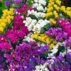 ดอกสแตติส กอล์ฟ มิกซ์ / 50 เมล็ด