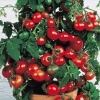 มะเขือเทศเตี้ย ไทนี่ ทิม Tiny Tim Cherry Tomato / 5 เมล็ด