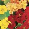 ดอกแนสเตอร์เตียม มิกซ์ Nasturtium Mix / 20 เมล็ด