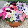 ดอก Petunia Mix Colour / 100 เมล็ด