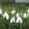 ดอก Galanthus nivalis / 10 เมล็ด