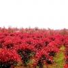 Photinia fraseri frasery serrulata Red tipluohu Flower / 5 เมล็ด
