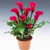 เมล็ดลิลลี่ ( สีแดง) Red Calla Lily seeds / 20 เมล็ด
