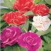 ดอกเทียนไทย Balsam Mix / 20 เมล็ด