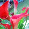 ดอก คอลล่าลิลลี่ สีแดง Red Calla Lily / 10 เมล็ด