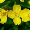 อีฟนิ่ง พริมโรส สีเหลือง / 30 เมล็ด