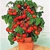 มะเขือเทศเตี้ย ไทนี่ ทิม Tiny Tim Cherry Tomato / 20 เมล็ด