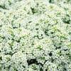 Alyssum White อลิซั่ม ไวท์/ 40 เมล็ด