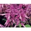 Salvia Splendens Spiky Lavender/ 30 เมล็ด