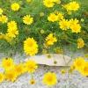 ดอกไธมอฟิลเลีย / 50 เมล็ด