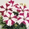 ดอกพิทูเนีย จัมโบ้ คริมสัน สตาร์ / 50 เมล็ด