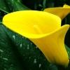 Calla Lily Bulbs ลิลลี่ หัว(สีเหลือง) 1 หัว