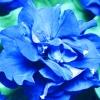 พิทูเนีย สีฟ้า Blue Petunia / 20 เมล็ด