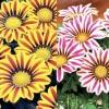 ดอกกาซาเนีย ไจแอนท์ มิกซ์ / 10 เมล็ด