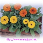 ดอกคาเลนดูล่า คาลิปโซ CALENDULA CALYSO MIX / 20 เมล็ด