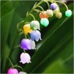 ดอกระฆังกล้วยไม้ Windbell Orchid / 5 เมล็ด